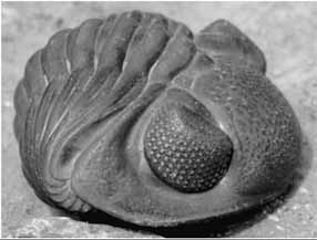 the existence of trilobites essay